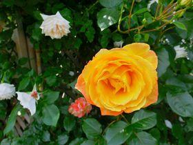 美の女神ビーナスの花と言えば…バラ!山形・東沢バラ公園