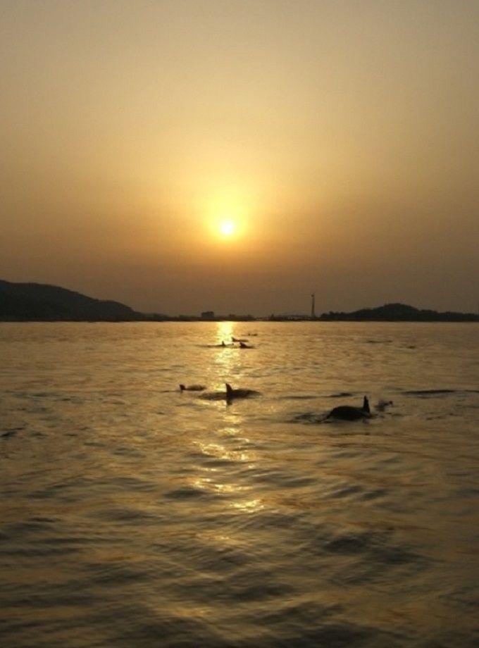 遅い時間に乗船すると、夕焼けの中に泳ぐイルカ達が!沈む夕日にゆったり動く背びれ達。