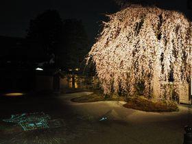 京都「高台寺」夜間拝観のライトアップ!ねねの枝垂れ桜が見事