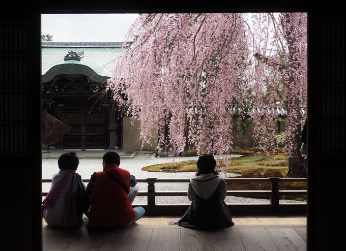 ねねのしだれ桜が見事!「波心庭」