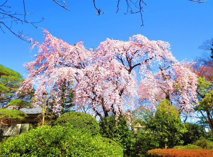 ソメイヨシノも枝垂桜も!「中院」