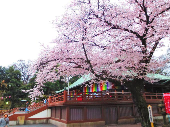 川越で桜と言えばココ!「喜多院」
