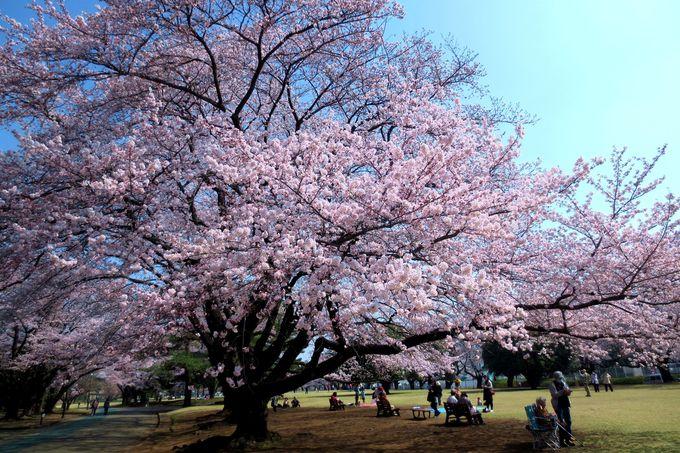 300本のソメイヨシノが咲き乱れる、超穴場のお花見公園!