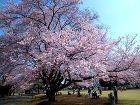 桜に馴染むアメリカン!埼玉・稲荷山公園で花見と一緒に楽しむスポット