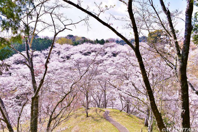 桜景色を上から下から楽しめる「吉四六ランド」