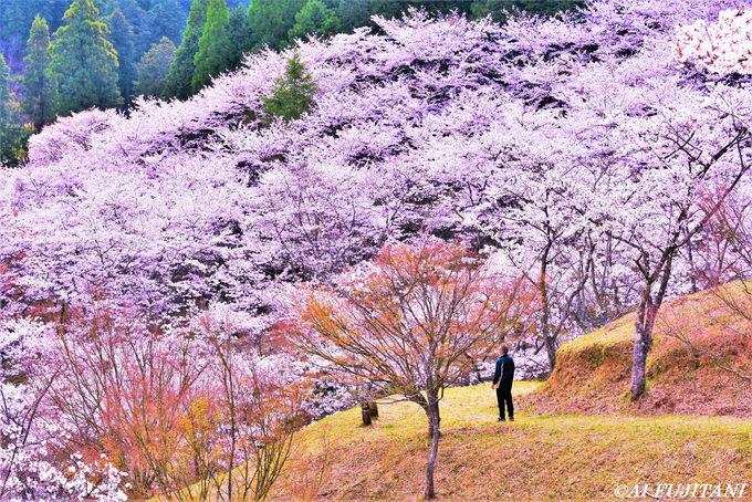 満開の桜の木の下で花に酔いしれる!
