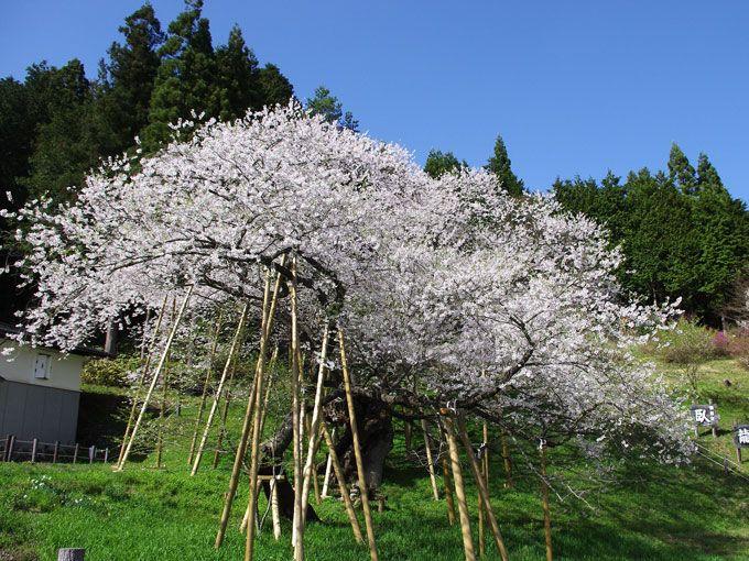 枯死状態からたくましく復活—甦った臥龍桜