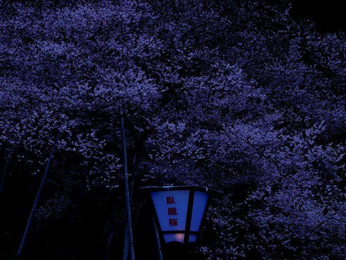 ぼんぼりの薄明かりで照らされた臥龍桜—幻想的な世界に