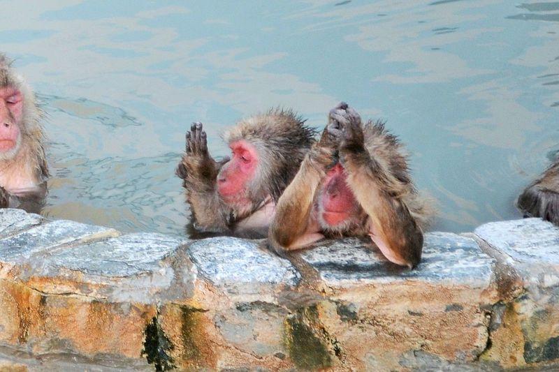 五郎丸ポーズ?北海道「函館市熱帯植物園」の温泉に入るサルがかわいい