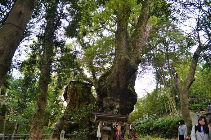 人気のパワスポ「来宮神社」大楠。葉の香りはあの匂い?