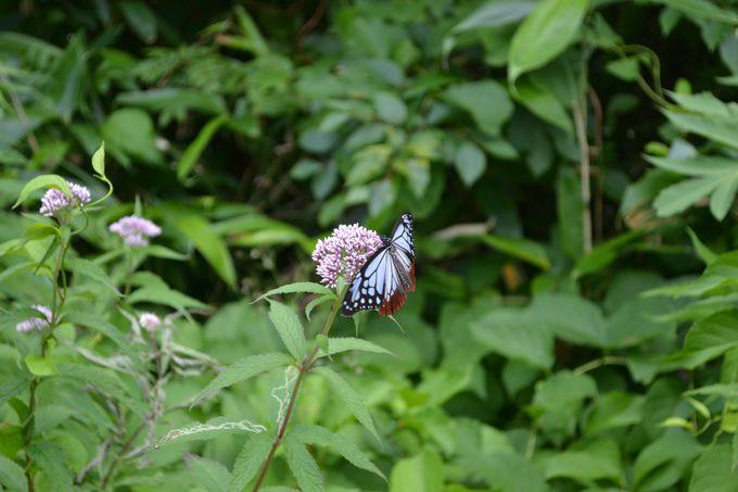 出現するのは8月だけ!旅する蝶・アサギマダラに会おう