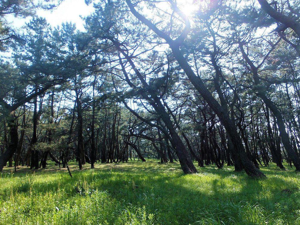 木漏れ日を見上げながらクロマツの森林浴を楽しもう