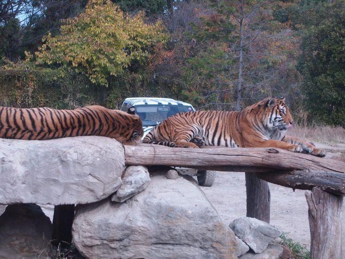 手が届く距離!?猛獣のトラに迫る!!