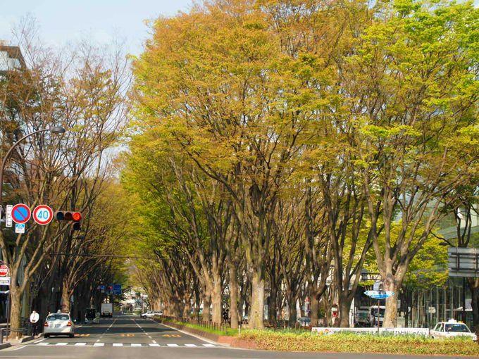 「SENDAI光のページェント」で知られる定禅寺通の並木道を歩く