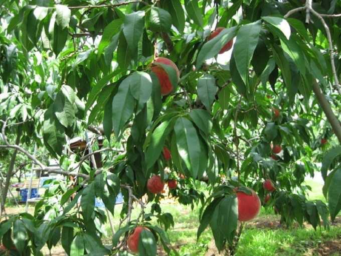 頭上にたわわに実る桃。お腹いっぱい食べよう!