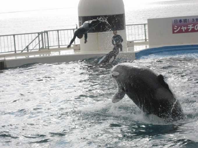 シャチの飼育力は日本一!!ここでしか見られないパフォーマンスが続々と。