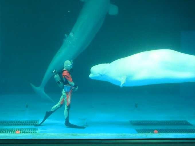 ベルーガ(白イルカ)の優美なショーで癒される!!