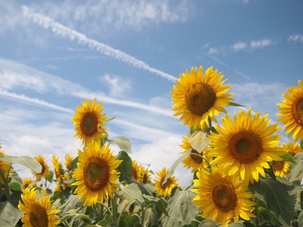 日照時間は日本一!!太陽の日差しがたっぷりのひまわり畑