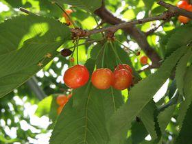 贅沢すぎる〜っ!! 旬の美味しい果物狩りを山梨県で!