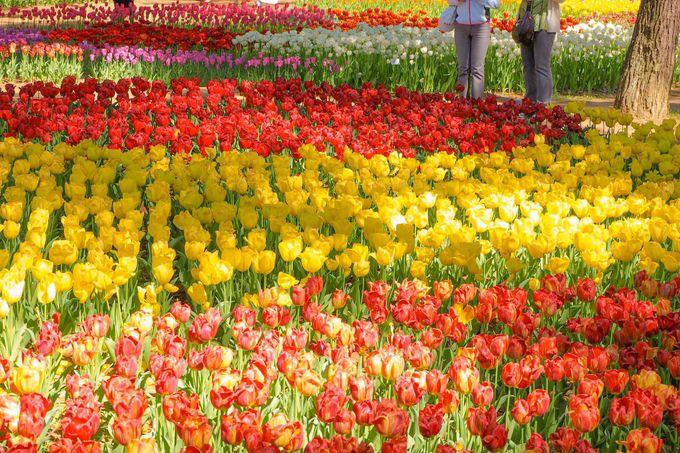 色とりどりの「チューリップ」が見せる、カラフルで可愛い風景