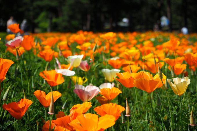 国営ひたち海浜公園ではほかにもこんな花が!