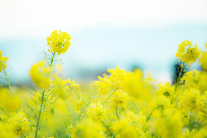 みはらしの里にひろがる春の象徴「菜の花」