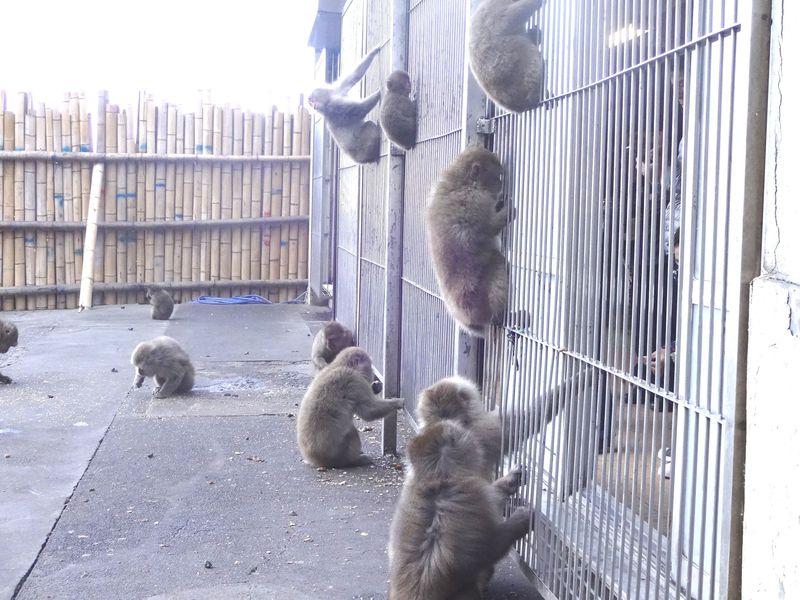 檻に入るのは人間!?南伊豆「波勝崎苑 猿園」で野生の猿にご挨拶!