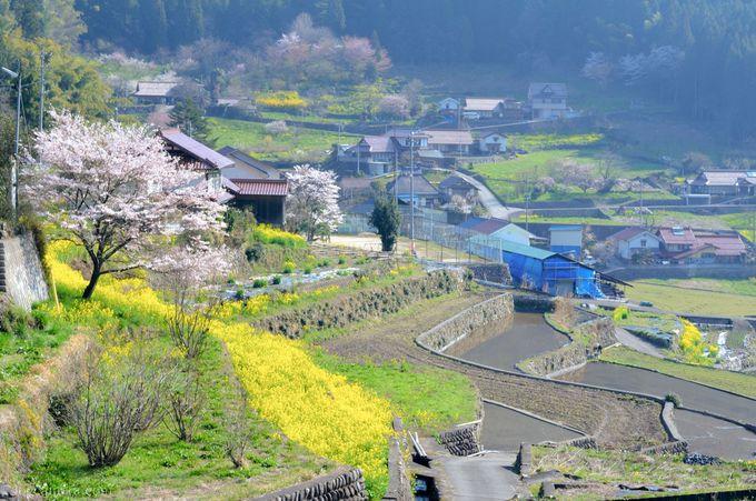 4月には井仁の棚田の周りに咲く桜と菜の花の姿も楽しめる