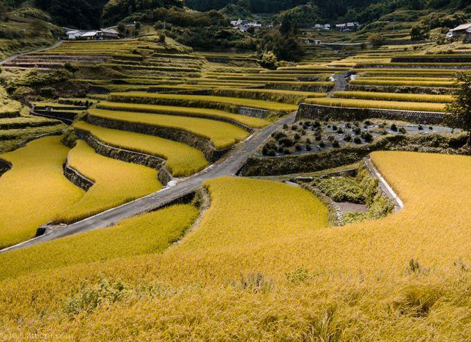 稲が実り黄金色に輝く井仁の棚田も美しい