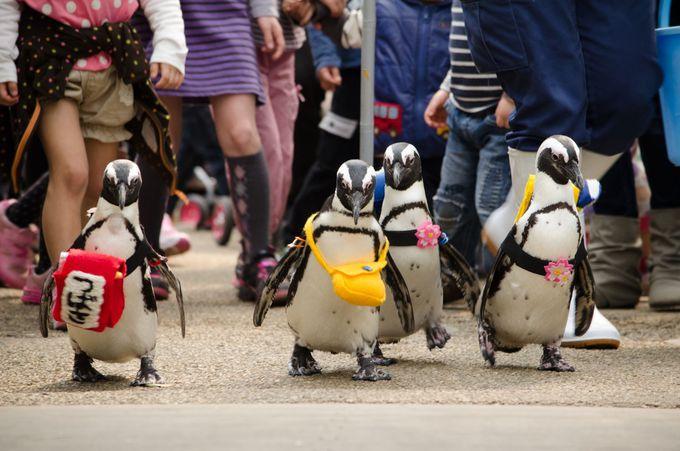 かわいさに思わず顔がほころぶペンギンのお散歩タイム