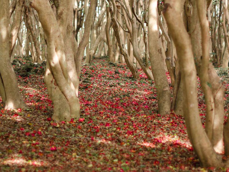 まるで赤い絨毯!萩の笠山で一面の椿を楽しもう!