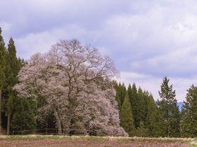咲き誇る一本桜の魅力!広島県庄原市の名木「東城の三本桜」