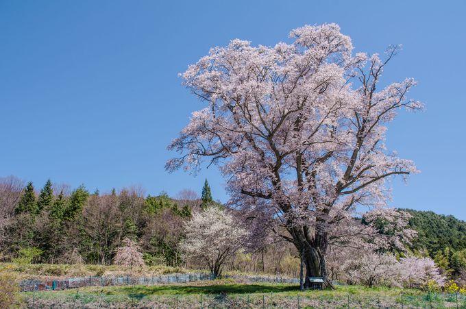 広島を代表する名桜「千鳥別尺のヤマザクラ」!