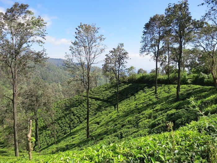 見渡す限り茶畑が続く小さな村エッラ