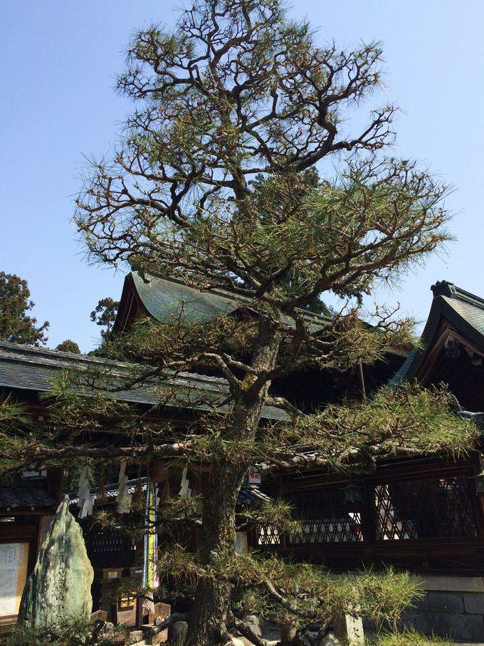 「乃木将軍御手植の松」と沙沙貴神社の縁