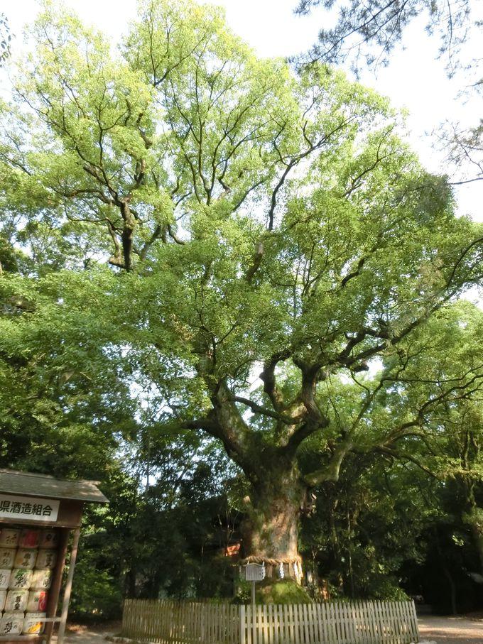 樹齢1000年以上の「大楠」と献酒の「酒樽」