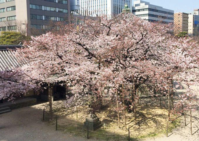国内最大級の木造釈迦坐像「福岡大仏」と「大桜」