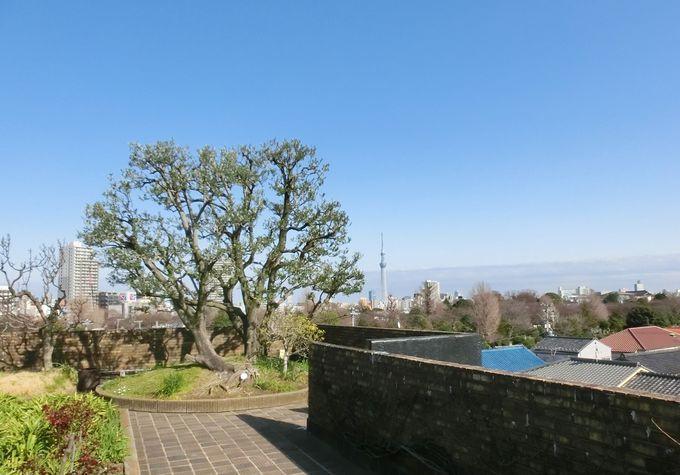「屋上庭園」オリーブの木とスカイツリー