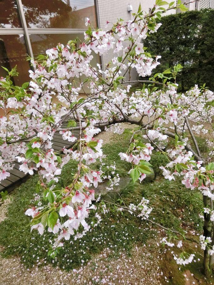 日米の親善に尽力した高峰譲吉ゆかりの桜