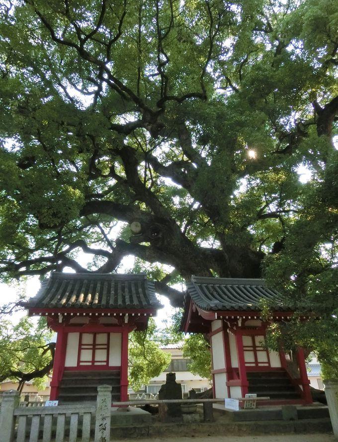 五社明神と樹齢1200年以上の楠