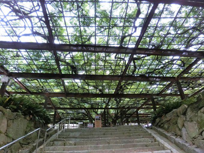 樹齢100年以上の藤