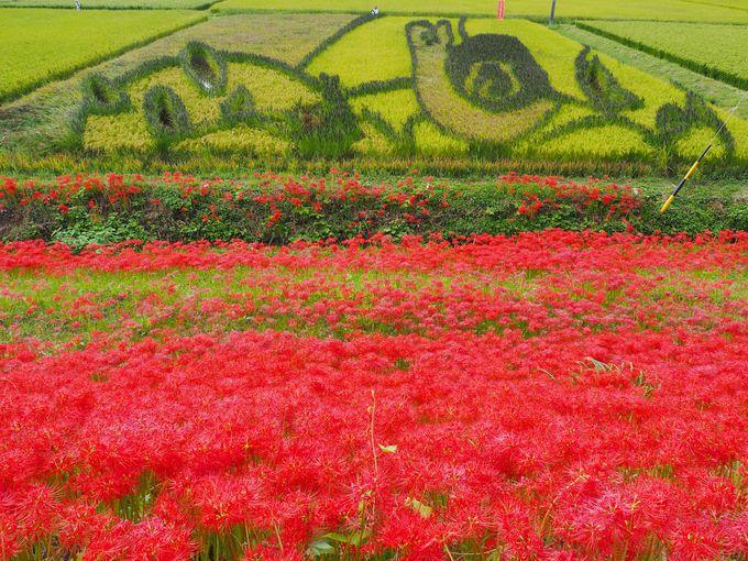秋が楽しみな『ごんぎつね』の田んぼアート、「ごんの橋」周辺