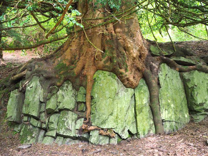 お花畑があちこちにあります、岩を抱く巨木の根が出てきたら一周です