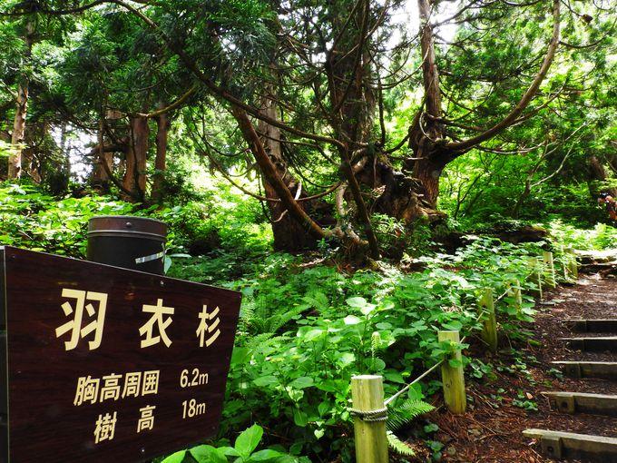 「羽衣杉」、「大黒杉」そして「家族杉」