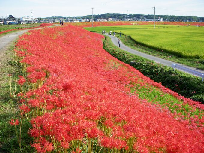 1.5キロメートルの真っ赤なじゅうたん!