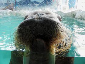 愛知「南知多ビーチランド」でイルカにタッチ、巨大セイウチにもゼロセンチ接近!