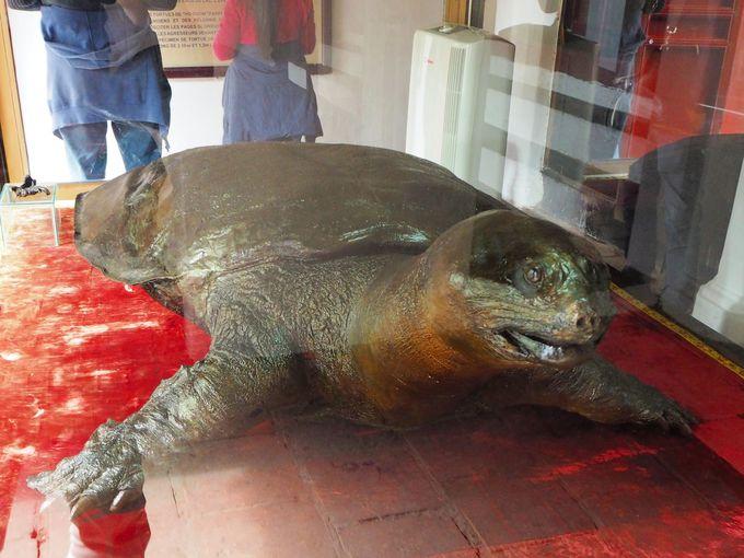 超巨大亀にドドーンと遭遇!