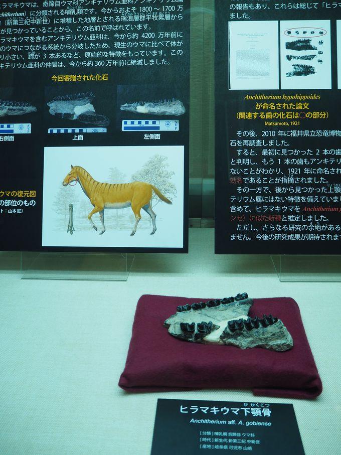 「ヒラマキウマ化石」は必見!世界が注目!