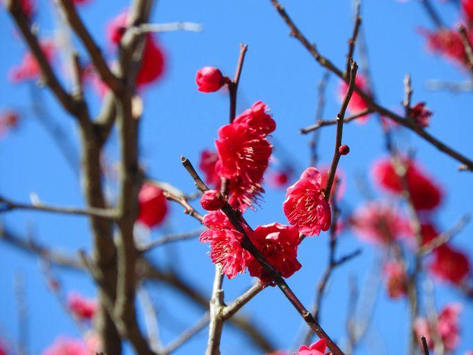 梅まつりの賑わいと春の香りを満喫