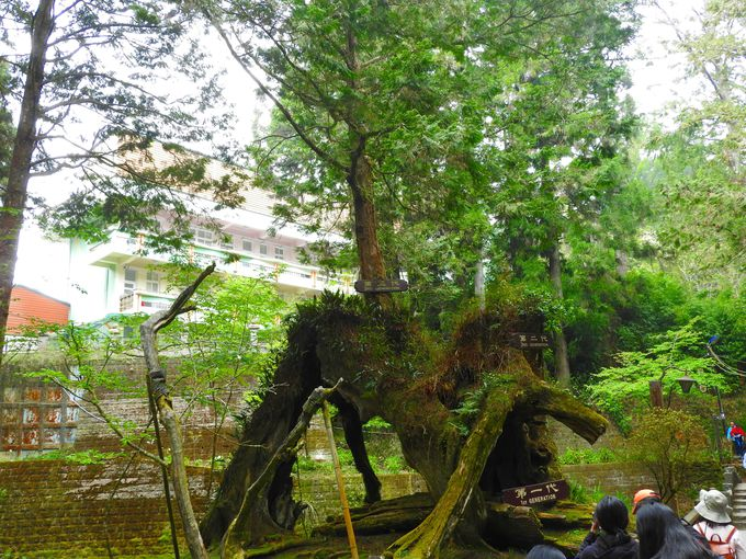 阿里山国家森林遊学区の巨木、古木3選